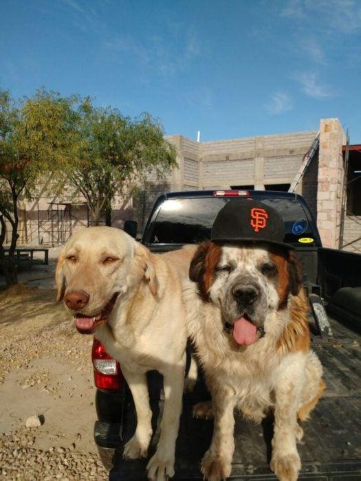 Dos perros en la caja de una camioneta, uno de ellos trae cachucha