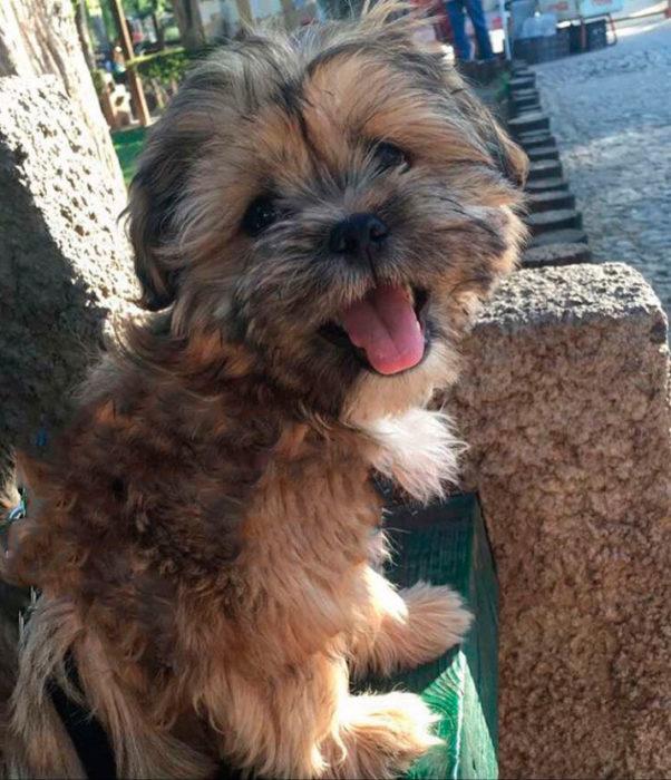 Foto de un perrito shih tzu con la lengua afuera