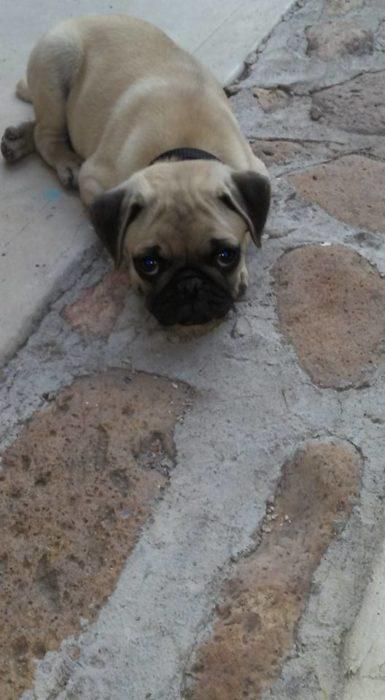 Foto de un perrito Pug acostado mirando a la cámara