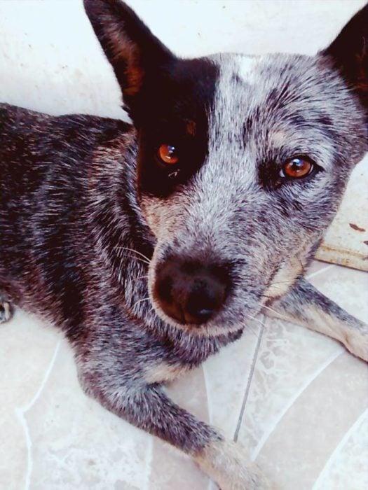 Foto de un perro volteando a ver a su dueño mientras está acostado
