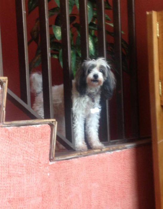 Foto de una perrita asomada por las escaleras de su casa