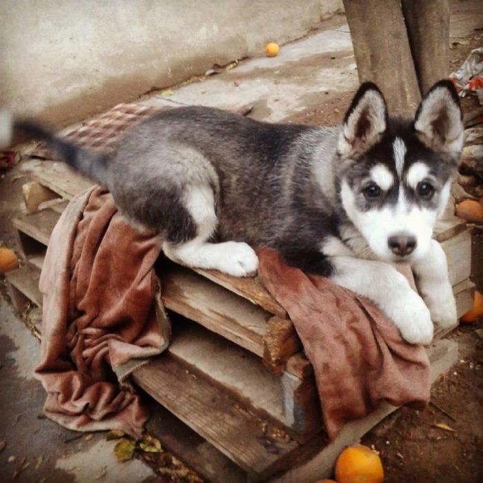 Foto de un perro Husky jugando con su dueño en un patio