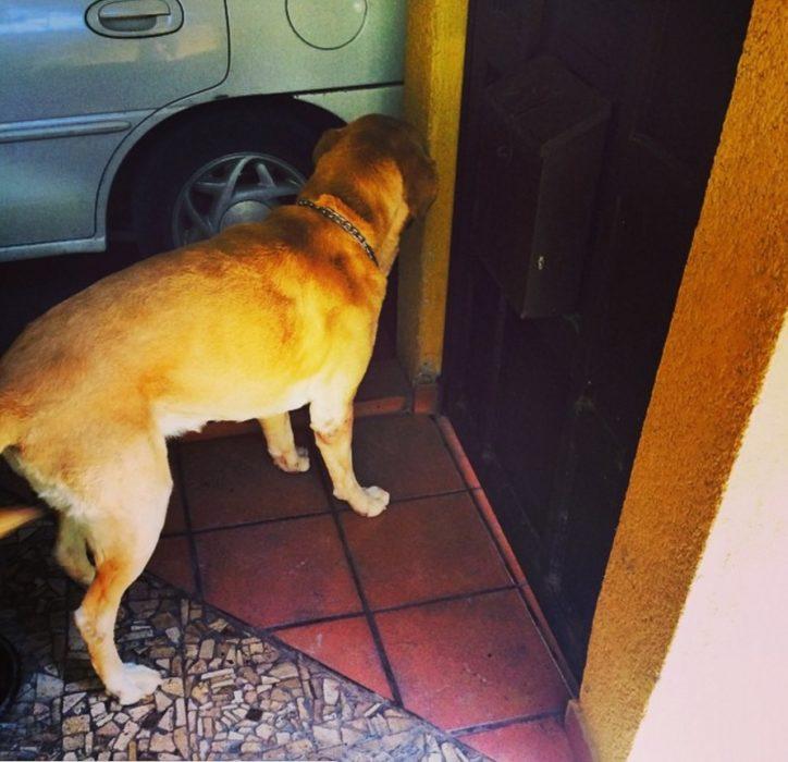 Foto de un perro labrador parado en la puerta de la casa