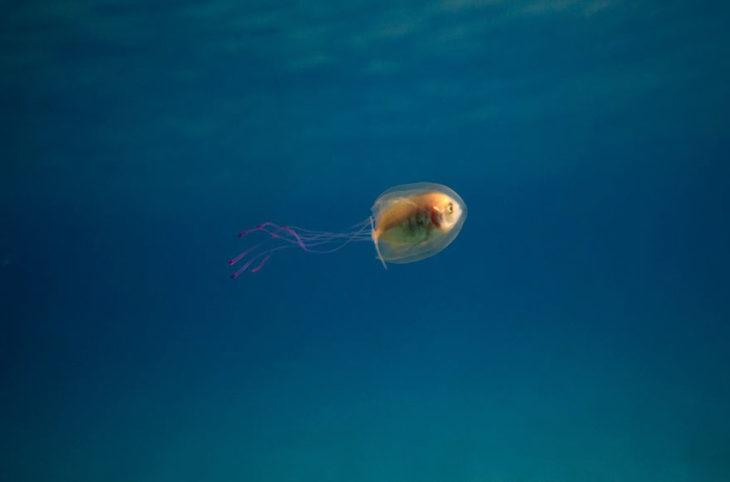Pez atrapado dentro de una medusa 1