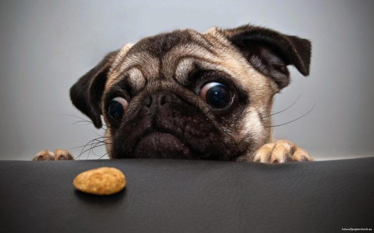 perro viendo galleta
