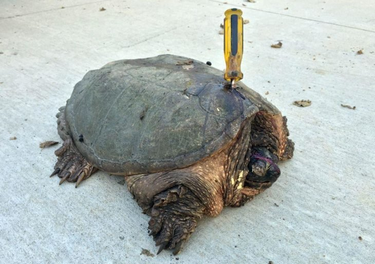 tortuga con desarmador encajado