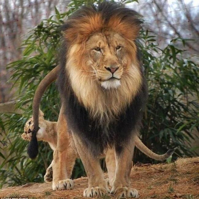 Leoncito mordiendo la cola de su papá león