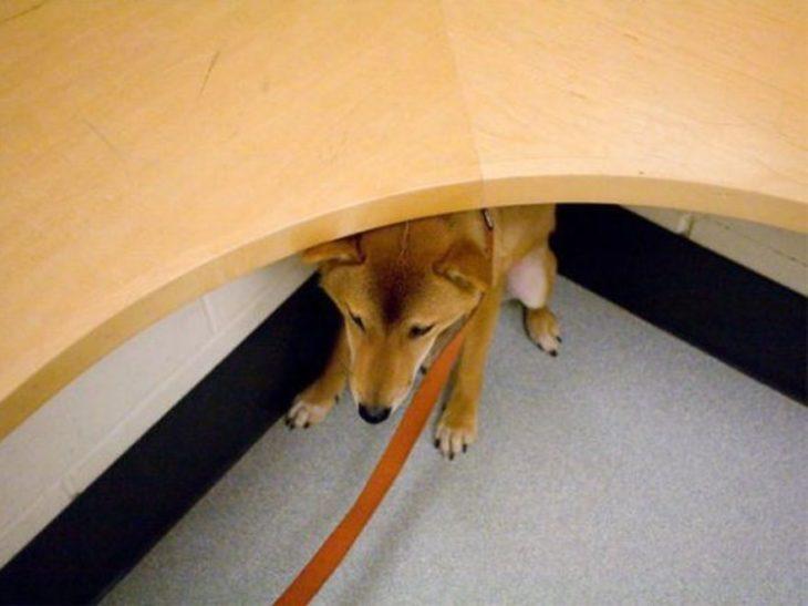 perro asustado bajo una mesa