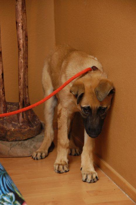 cachorro de pastor alemán asustado