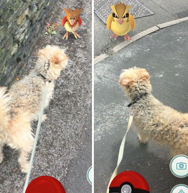 perrito french viendo pokemones que parecen pollos