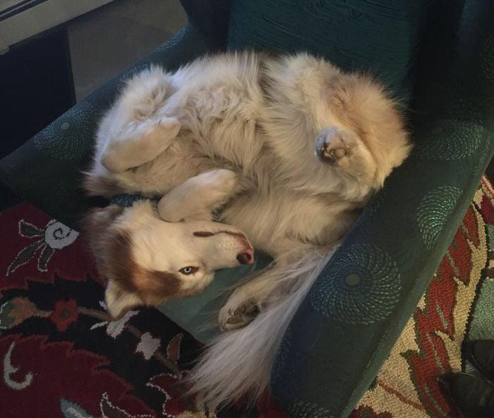 husky acostada en un sillón