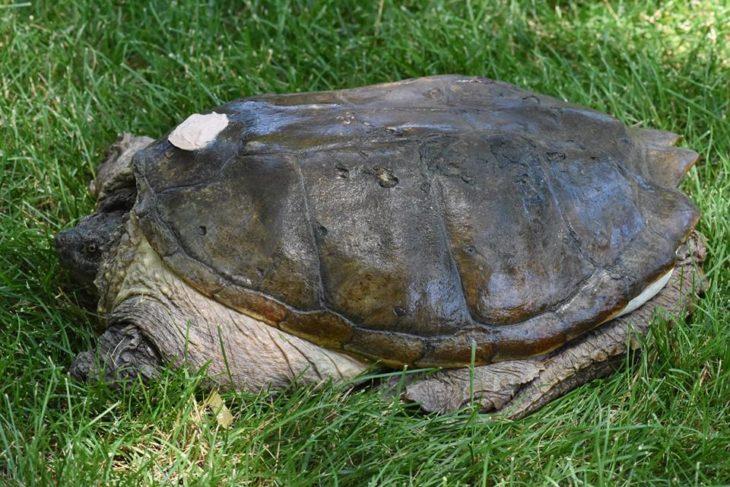 tuttle la tortuga recuperada