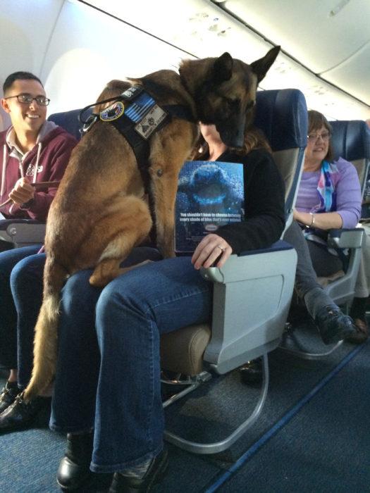 pastor alemán en un vuelo de avión