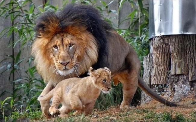Papá león persiguiendo a su leoncito