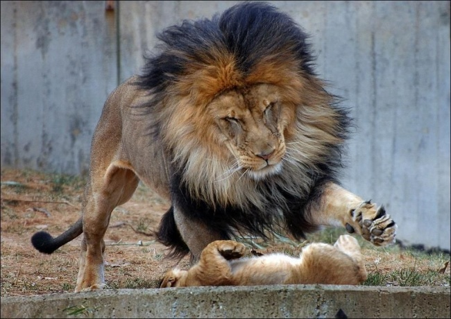 Papá león a punto de arañar al león bebé