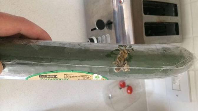 lagartija en el pepino