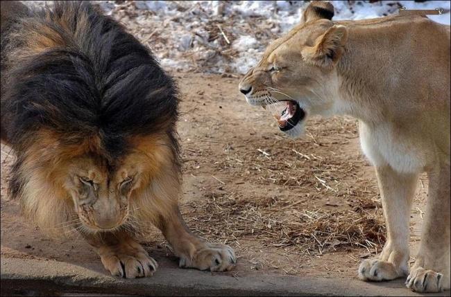 Mamá leona gruñéndole a papá león y él tiene actitud de regañado