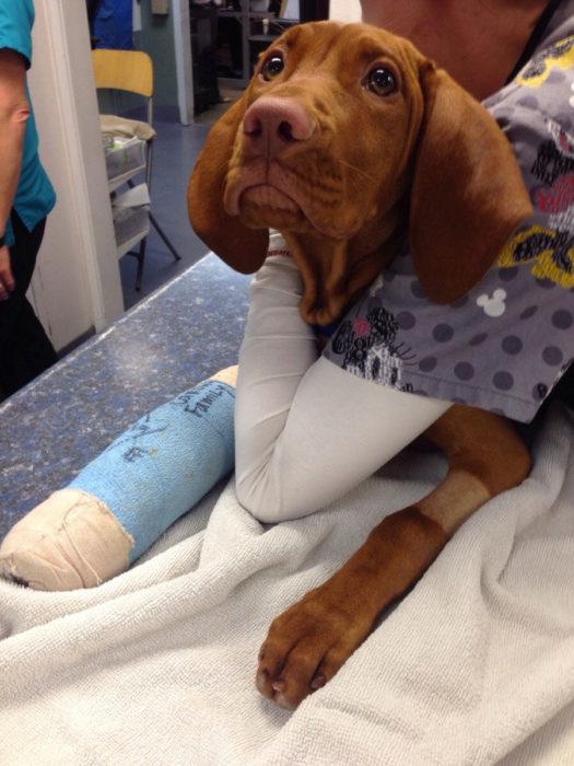 perro con la pata rota en la veterinaria