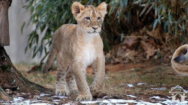 León bebé