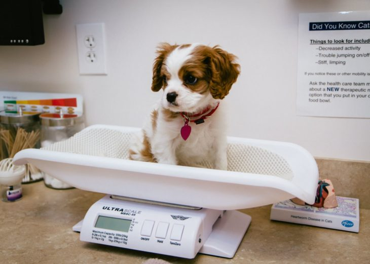 perrito en báscula veterinario