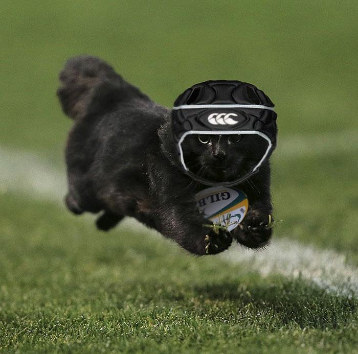 gatito vestido de rugby