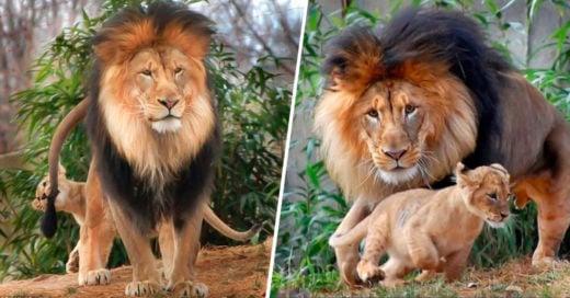 COVER Un papá león estaba a punto de enseñarle modales a su hijo cuando llegó la mamá leona y