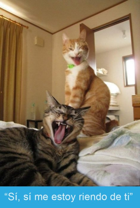 Expresiones-gato-(Dos gatos que parece que se están riendo