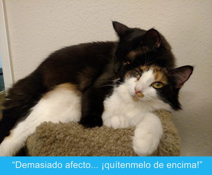 Expresiones-gato- Dos gatos acurrucados