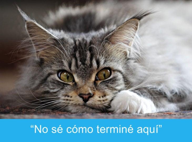 Expresiones-gato-(Gato con la mirada perdida