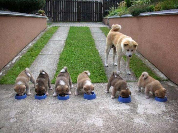 akita viendo comer a sus perritos