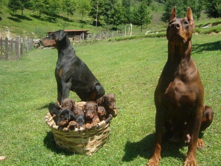 perros doberman con sus perritos