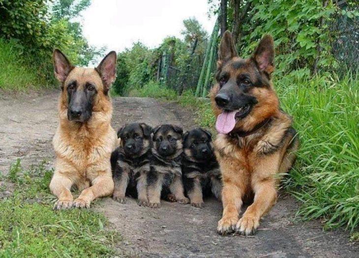pastores alemanes con sus perritos