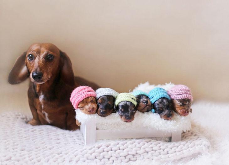 perros salchica con gorritos color pastel
