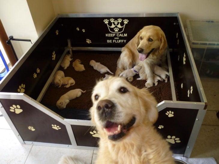 papá labrador con su motón de perritos
