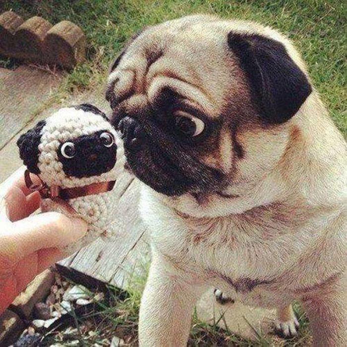 perrito pug con un mini me