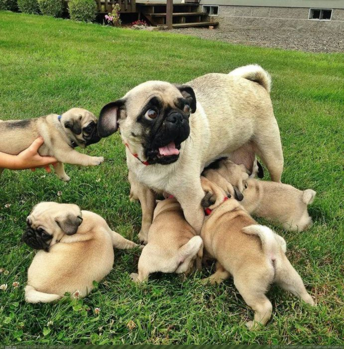 mamá pug con sus perritos pugs