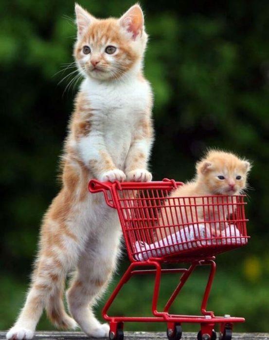 Gato paseando a gato bebe