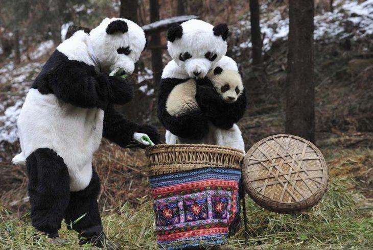 Pandas cargando a bebe panda