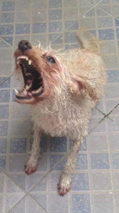 foto de perra ladrando enojada