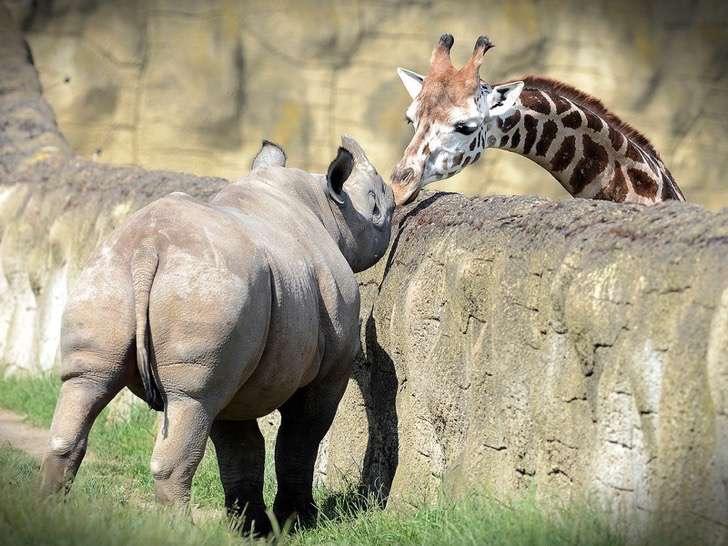 El amor entre una jirafa y un rinoceronte (imágenes)