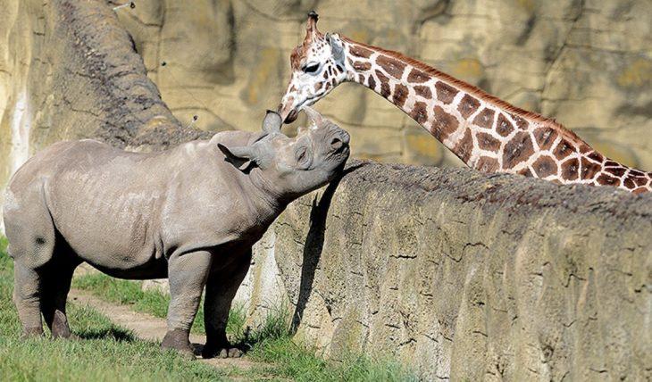 Una jirafa y un rinoceronte en un zoo separados por un muro