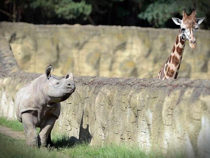 Rinoceronte de un lado del muro camina siguiendo a la jirafa que está del otro lado