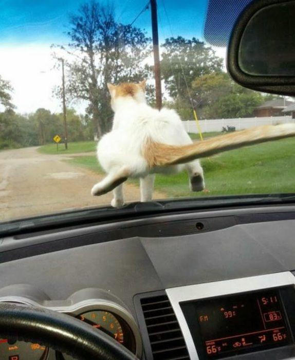 gato pone su trasero en el parabrisas de un auto