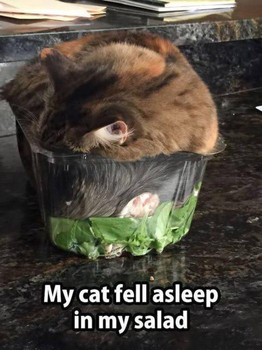 gato dormido en ensalada