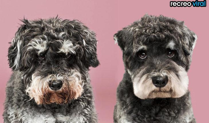 antes y después corte de cabello perro esponjoso negro
