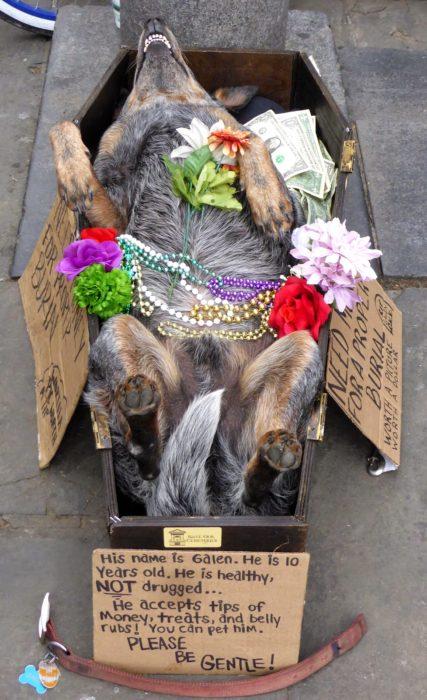 Perro en caja de ataud con flores y collares de colores