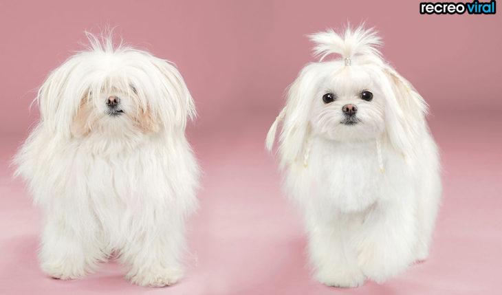 antes y después corte de cabello perra con coleta