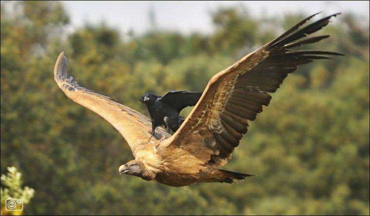 Cuervo arriba de un aguila mientras vuela