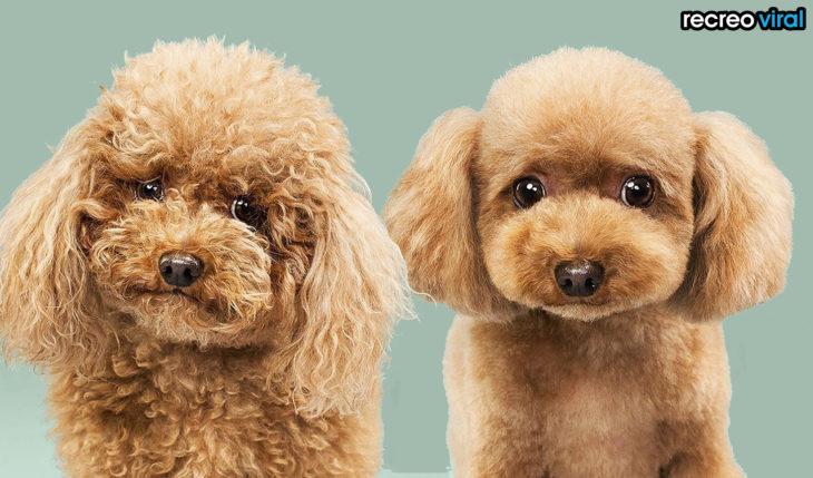 antes y después corte de cabello perro cafe
