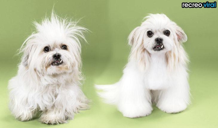 antes y después corte de cabello perra con colmillo salido